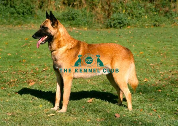 Belgian Shepherd Dog-Malinois