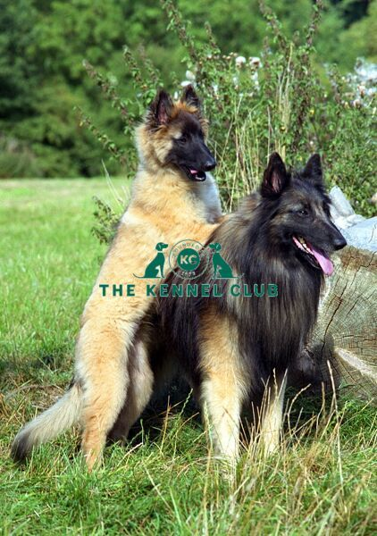 Belgian Shepherd Dog-Tervueren and puppy