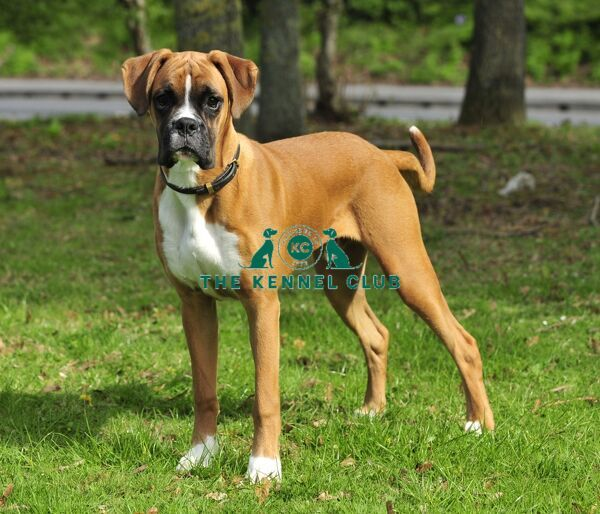boxer s. boxer with tail uk springtime