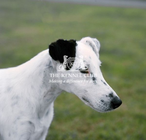 Fox Terrier-Smooth