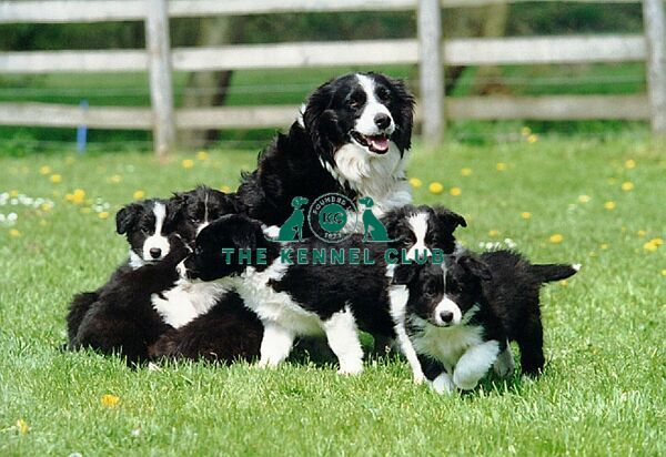 A group of black and white Border Collie puppies playing outside