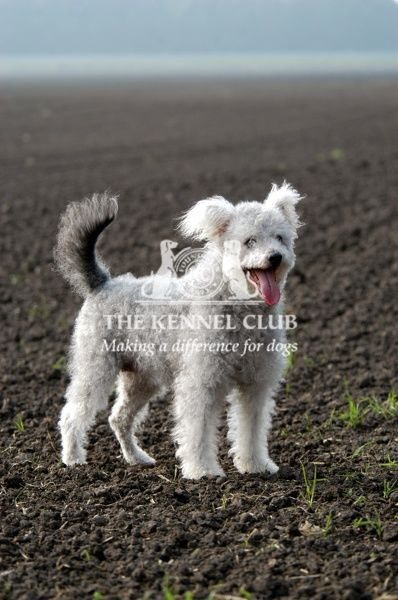Pumi is a breed from Hungary originally used as a general farm dog