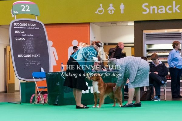 Judging of Nova Scotia Duck Tolling Retrievers
