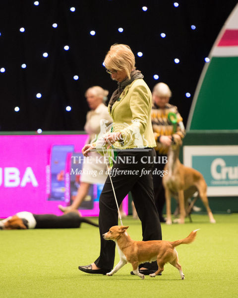 Hound Group judging   PORTUGUESE PODENGO (WARREN HOUND)
