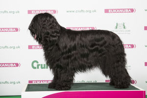 2018 Best of Breed Briard