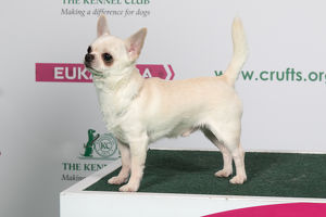 2018 Best of Breed Chihuahua (Smooth Coat)