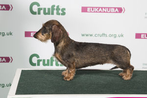 2018 Best of Breed Dachshunf (Miniture Wire Haired)