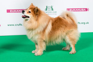 2018 Best of Breed Finnish Lapphund