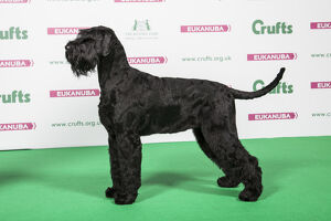 2018 Best of Breed Giant Schnauzer