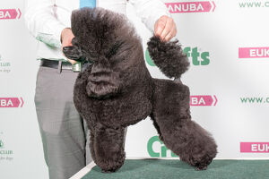 2018 Best in Breed Poodle (Toy)