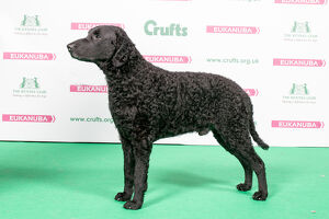 2018 Best of Breed RETRIEVER (CURLY COATED)
