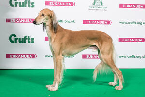 2018 Best of Breed Saluki