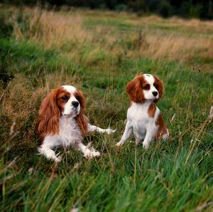 Cavalier King Charles Spaniel and puppy