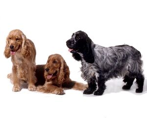 <b>Spaniel (Cocker)</b><br>Selection of 1 items