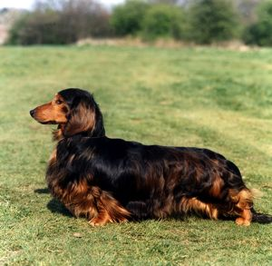 Dachshund-Long Haired
