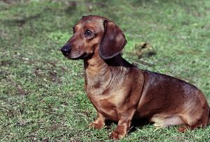 Dachshund (Miniature Smooth-Haired)