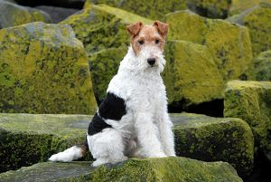 Fox Terrier-Wirehaired