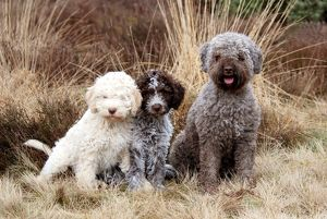Lagotto Romagnolo and puppies
