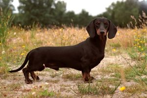 Dachshund Smooth-Haired