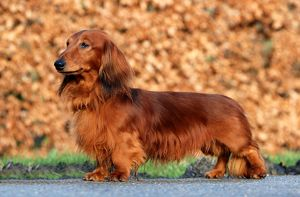 Dachshund Long-Haired