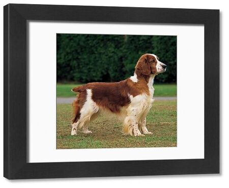 Spaniel (Welsh). app-ibs