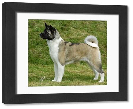 Akita. A portrait of an Akita standing outside shown in profile
