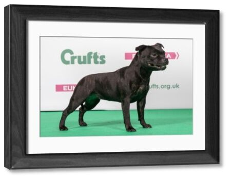 2018 Best of Breed Staffordshire Bull Terrier CH CRUDHA NORDIC STAR (IMP SWE)