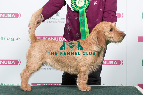 2018 Best of Breed Basset Fauve de Bretagne HIBECK TEDDY BEAR AT KOCALBA