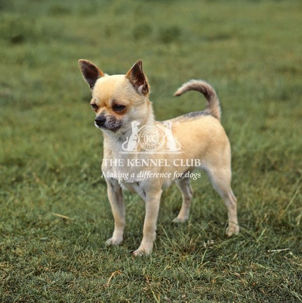 Chihuahua-Smooth Coat