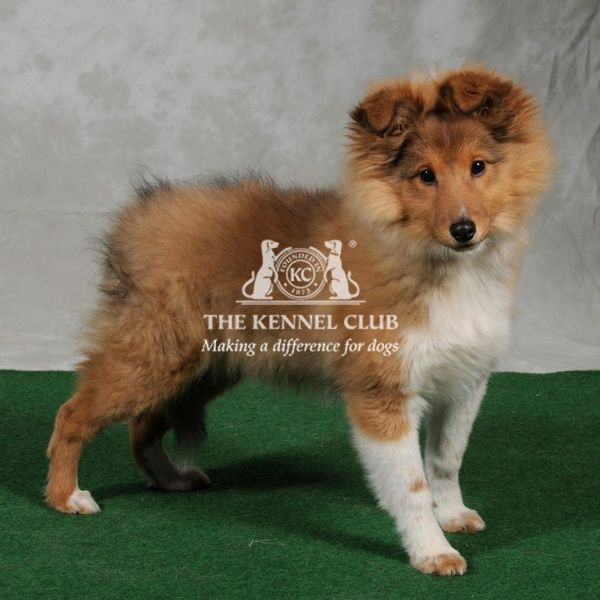 Collie-Rough puppy. sheltie puppy 5 months old