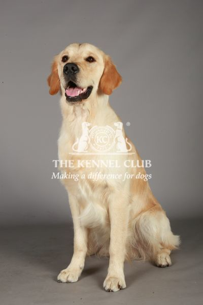 Crufts 2013, nick ridley, stock images, KCPL, KCPL_Stock, March 2013, Retriever (Golden)