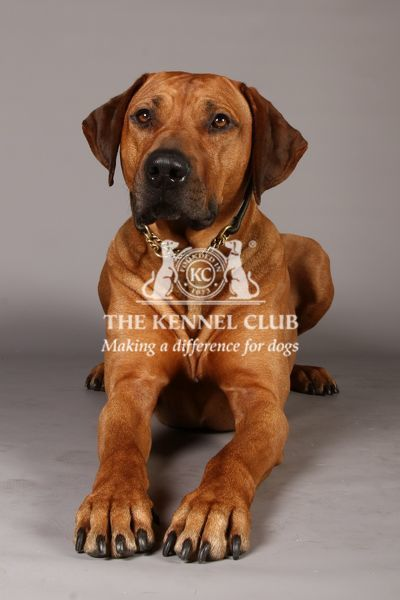 Crufts 2013, Rhodesian Ridgeback, nick ridley, stock images, KCPL, March 2013, KCPL_Stock