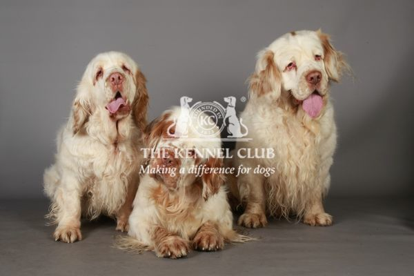 Spaniel (Clumber) Group Portrait