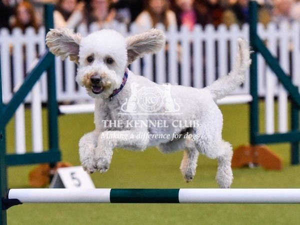 Picture shows Jumping Under 18 Years in the YKC ring, today (Saturday 12.03.16), the third day of Crufts 2016, at the NEC Birmingham