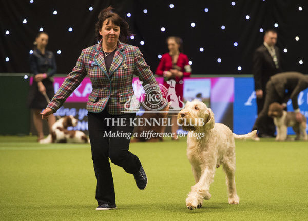 Picture shows Tony a Italian Spinone, which was the Best of Breed winner today, (Sunday 11.03.18), the fourth and final day of Crufts 2018, at the NEC Birmingham