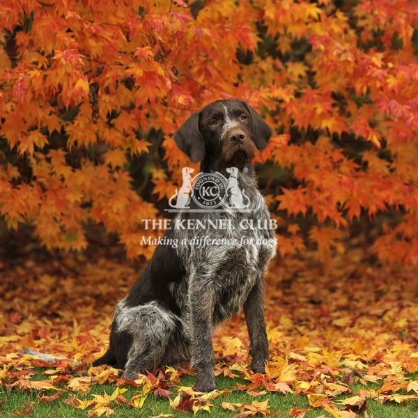 german wirehaired pointer in fall leaves with full tail
