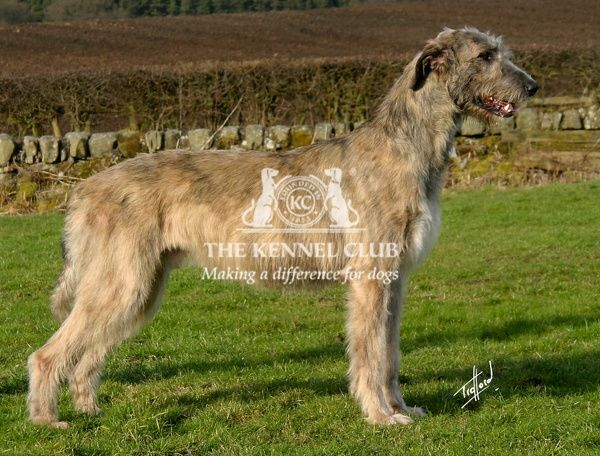 Irish Wolfhound. A portrait of a Irish Wolfhound standing outside shown in profile