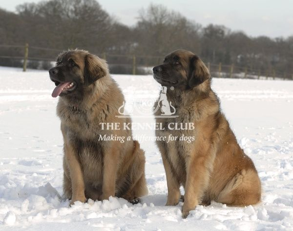 LEONBERGER. Leonberger in the snow