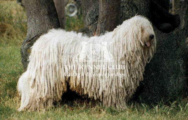 outside, standing, pastoral, pose, profile, white, tree, show, komondor