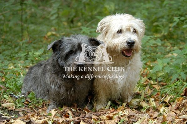 pair, two, outside, grass, brown, Terrier