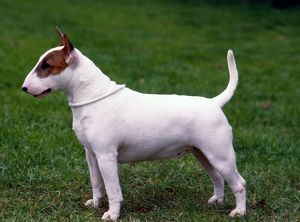 Bull Terrier- Miniature