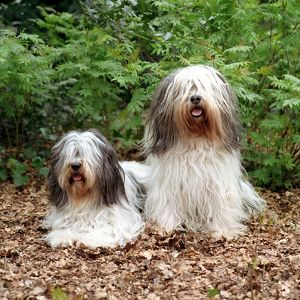 represented dog photographers/alice van kempen/couple fluffy pair two leaves outside grass