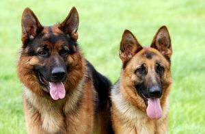 represented dog photographers/alice van kempen/couple pair alsatian two outside grass dogs