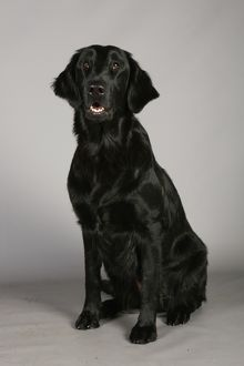Retriever (Flat Coated)