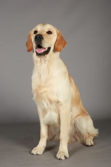 Retriever (Golden)