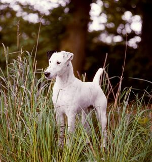 Fox Terrier (Smooth)