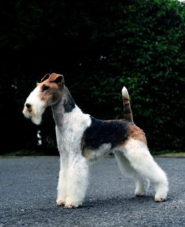 Fox Terrier-Wire