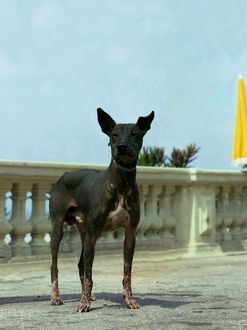Mexican Hairless (Standard)