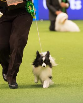 Papillon Best of Breed Crufts 2017