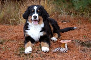 represented dog photographers/alice van kempen/puppy small cute bernese autumn outside white